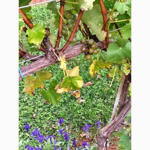 grapespippin